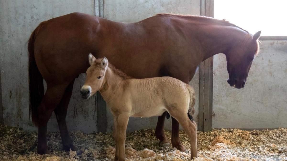 В США впервые клонировали лошадь Пржевальского: фото