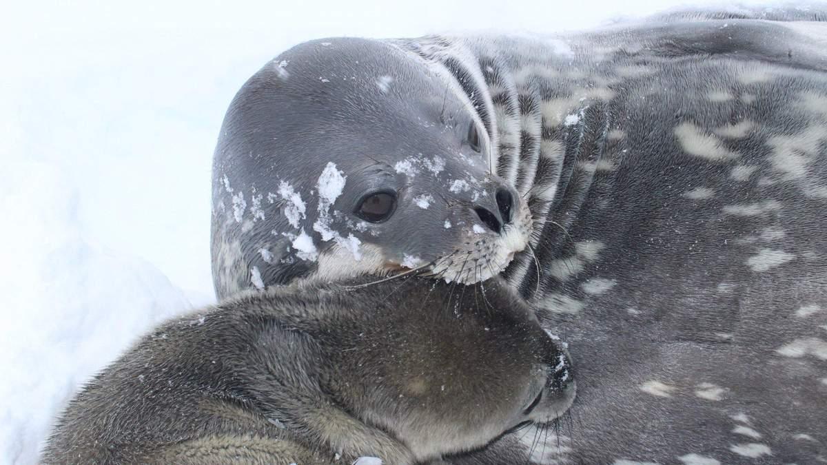 На станції Академік Вернадський народилося перше тюленя Уедделла