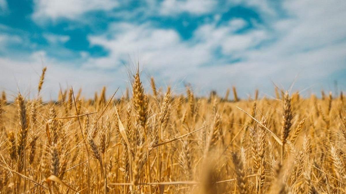 Из-за экологии урожай зерновых в Украине снизится минимум на 5 млн тонн, – СМИ