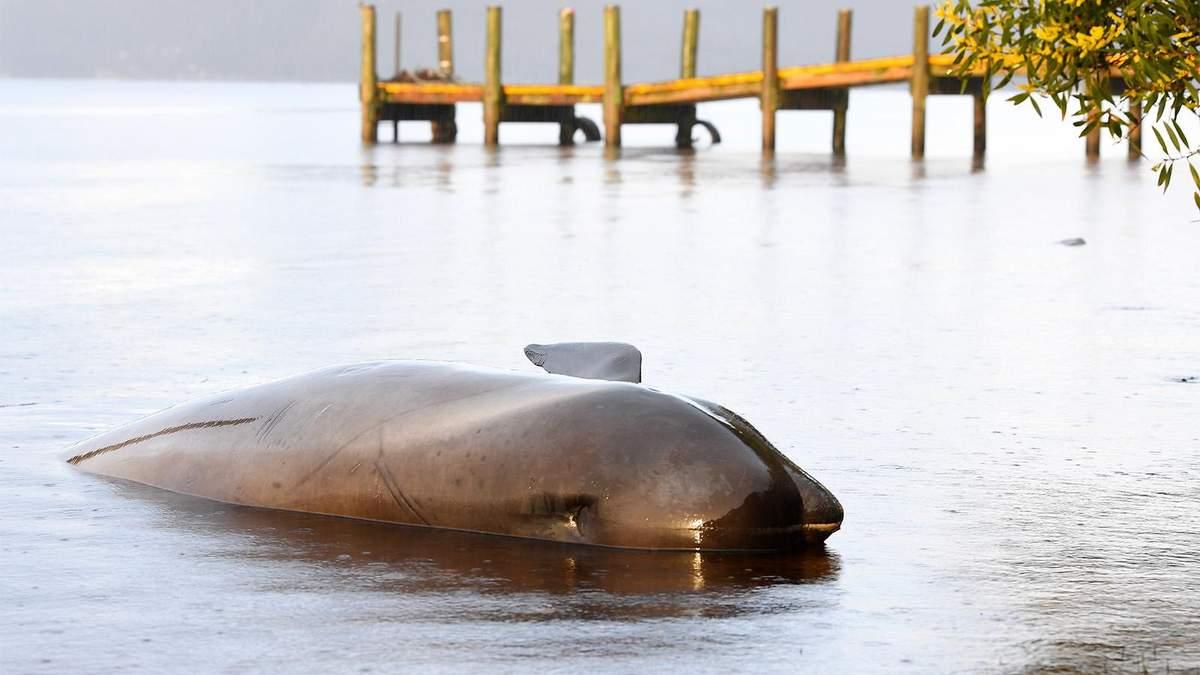 Массовый выброс дельфинов-гринд в Австралии