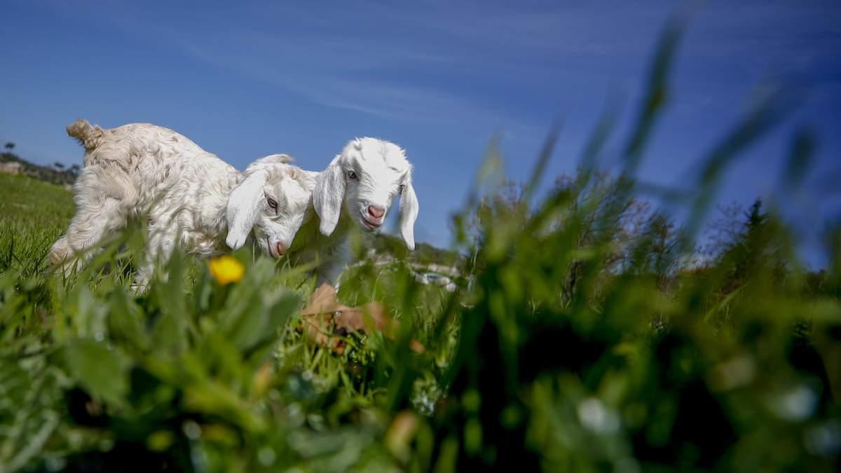 У Чернівцях по вулиці розгулює овечка: відео