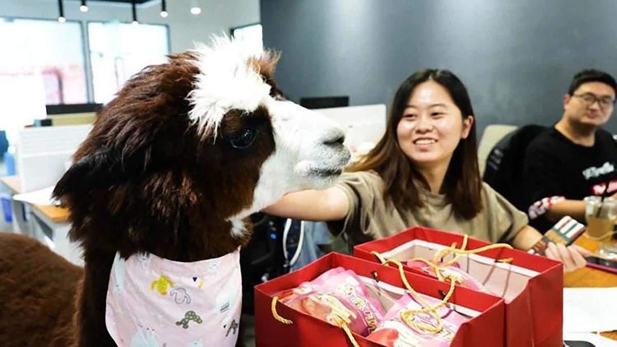 Альпака працює в офісі китайської відеостудії