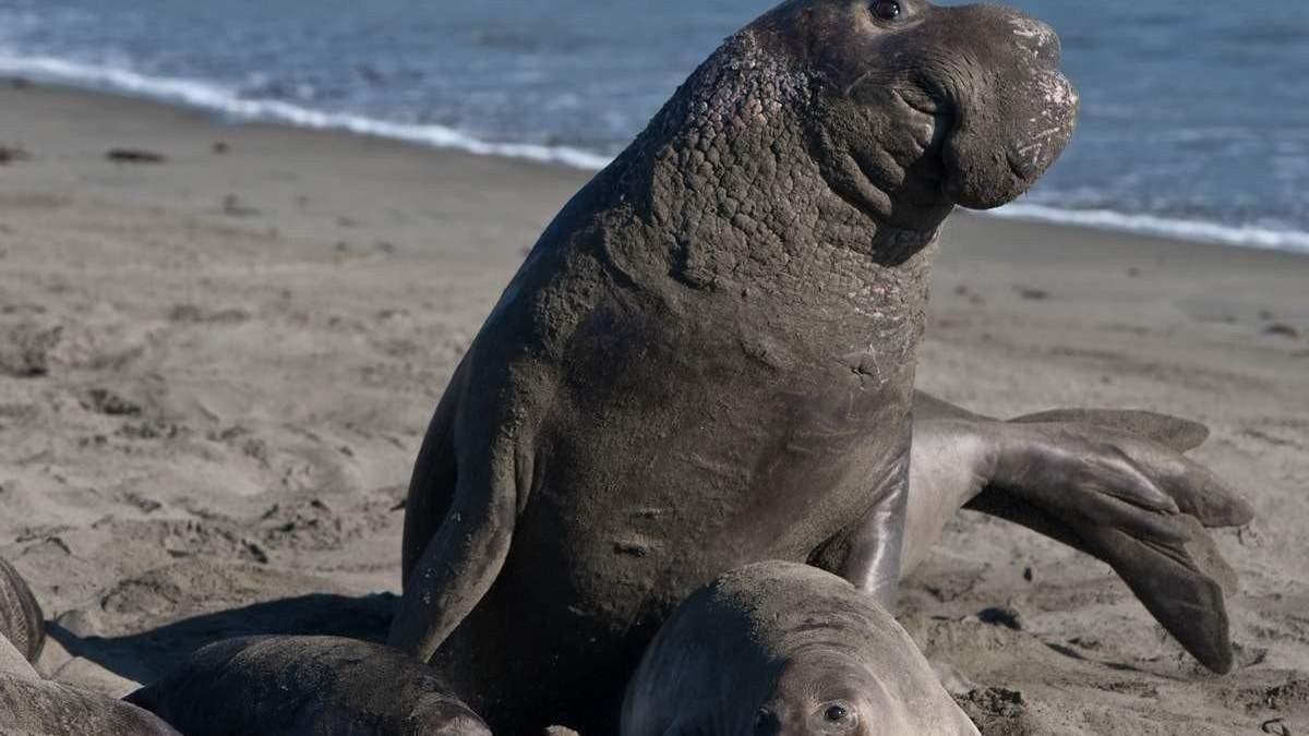 На вулицях Чилі помітили морського слона: відео