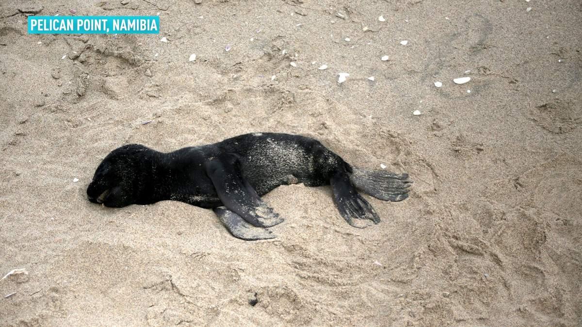 У Намібії шоковані масовою загибеллю дітей морських котиків: фото