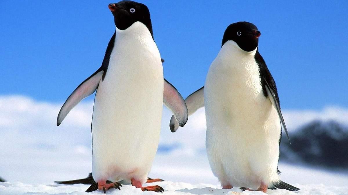 У Нідерландах два пінгвіни-геї викрали яйце у пінгвінів-лесбійок