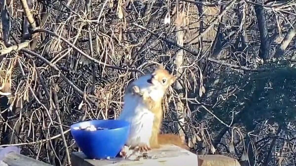 В США белка съела несвежую грушу и опьянела: смешное видео