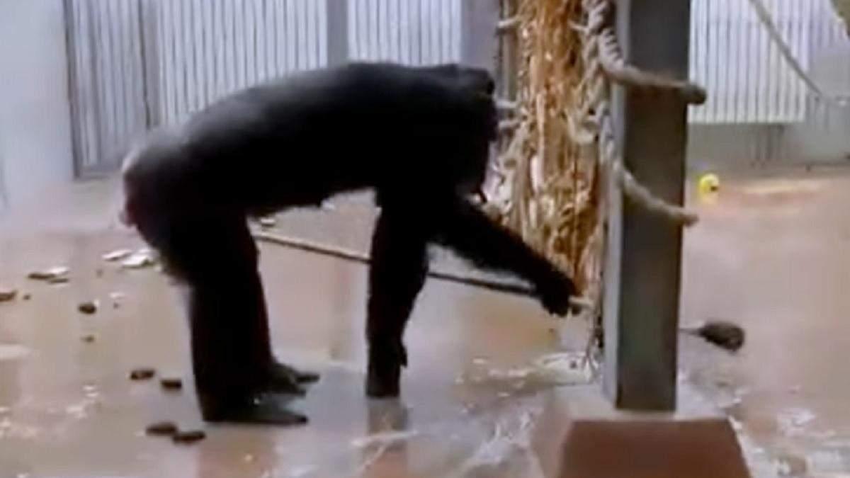 Шимпанзе убирает в своем вольере в зоопарке Таллинна: видео