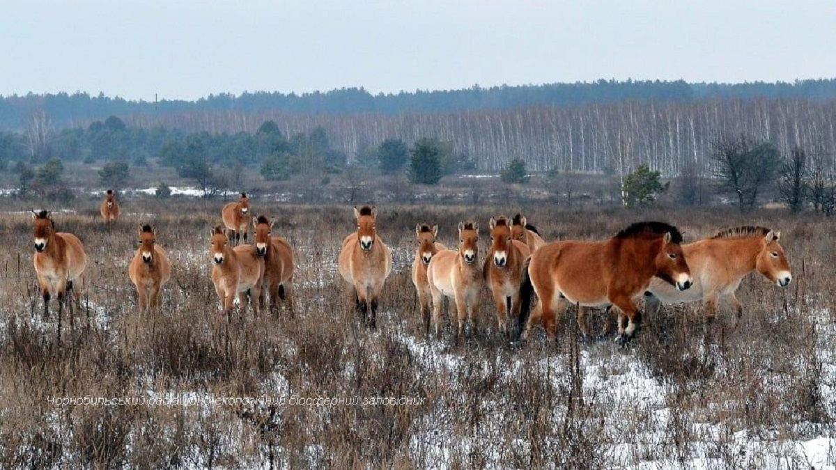 Лошади Ржевальского погибают в ловушках в Чернобыльской зоне