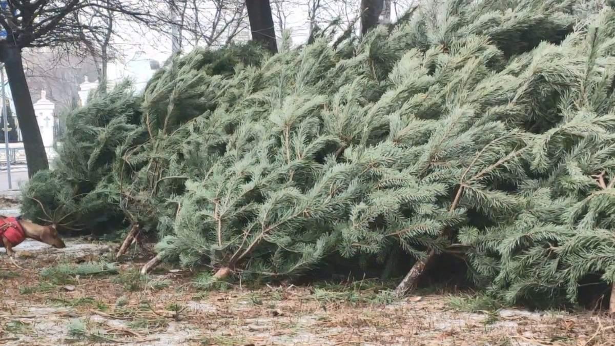 Какие цены на елки в регионах Украины