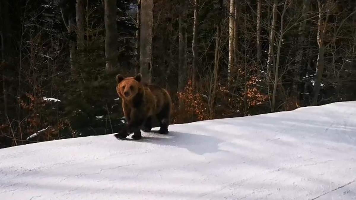 В Румынии инструктор отвлек медведя от лыжников