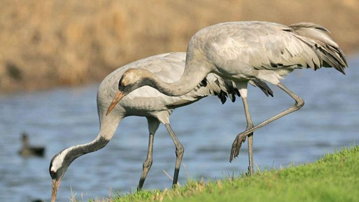 Из-за яда: на Херсонщине снова погибают краснокнижные птицы