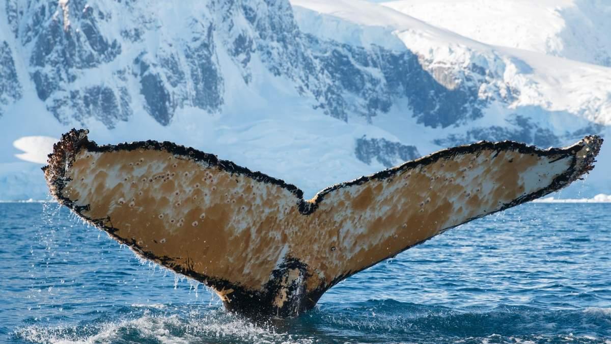 Українці в Антарктиді розбудили величезного кита: фото, відео