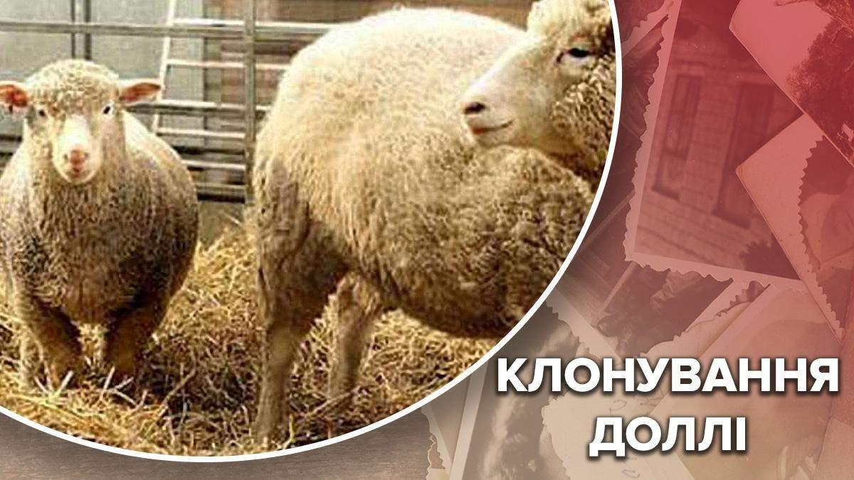 Первое клонирование: почему состояние овцы Долли стало критическим