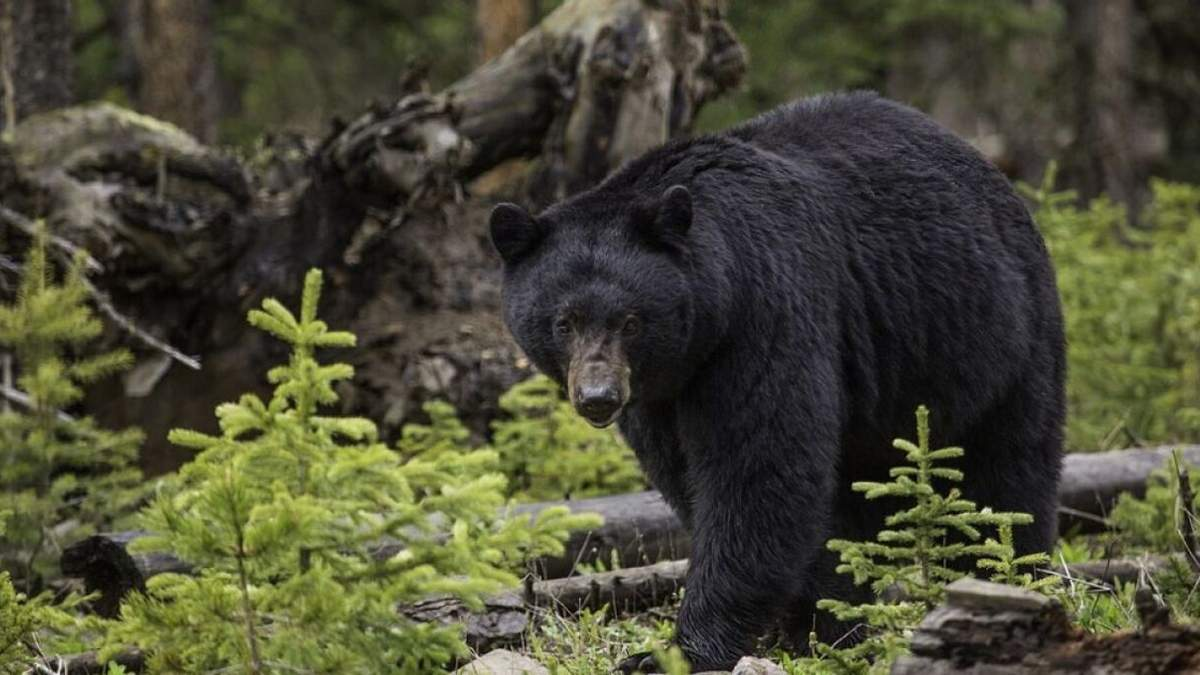 В Колорадо медведь разодрал женщину, которая выгуливала 2 собак