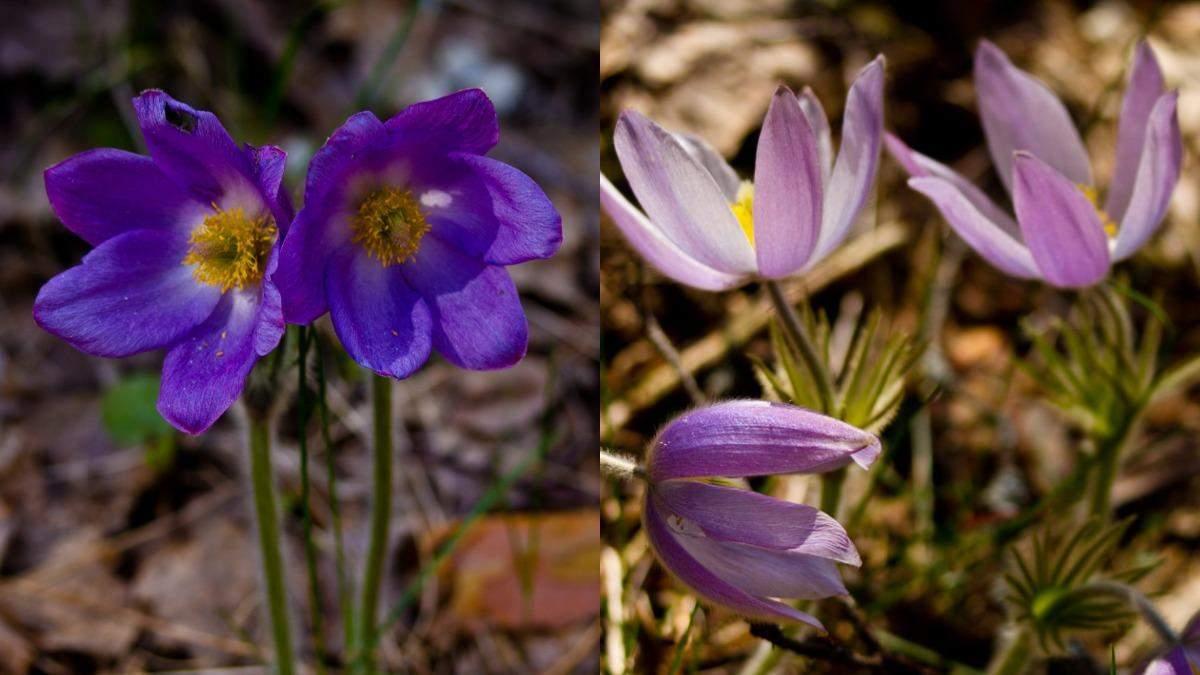 В Чернобыльской зоне расцвели редкие цветы: невероятные фото
