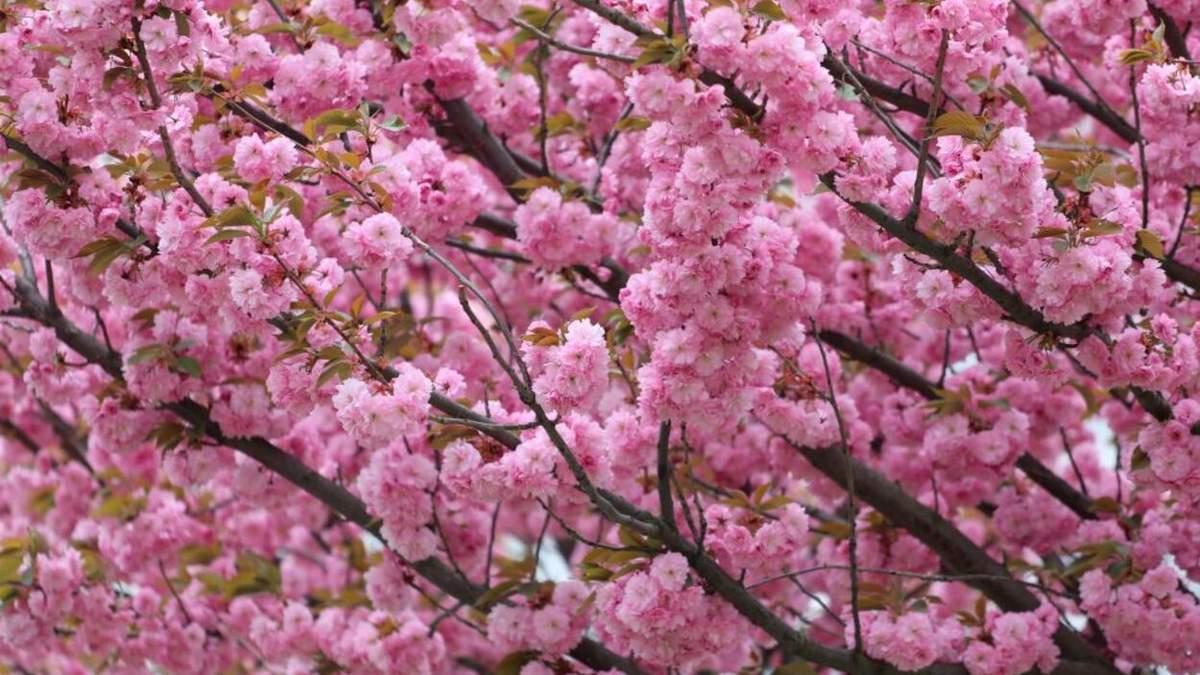 Где во Львове цветут сакуры: 10 локаций для весенних фотосессий