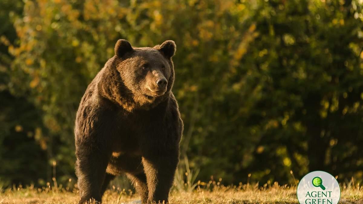 Принца Лихтенштейна подозревают в убийстве крупнейшего медведя в ЕС