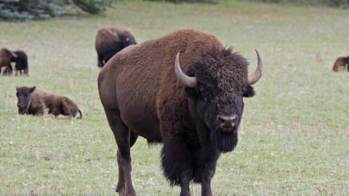 В США проводят лотерею на отстрел бизонов: более 45 тысяч желающих