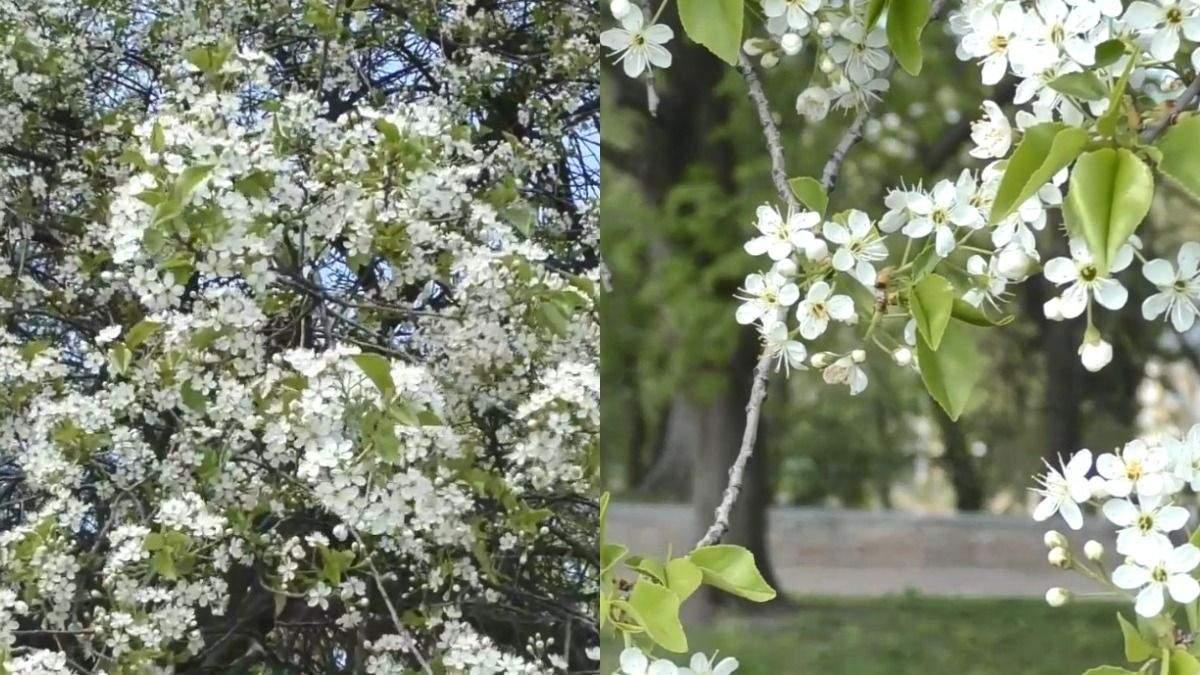 У Чернігові росте найстаріша в Україні вишня-антипка