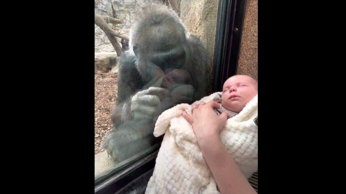 У США горила познайомила свого малюка з людською дитиною: відео, що підкорило мережу