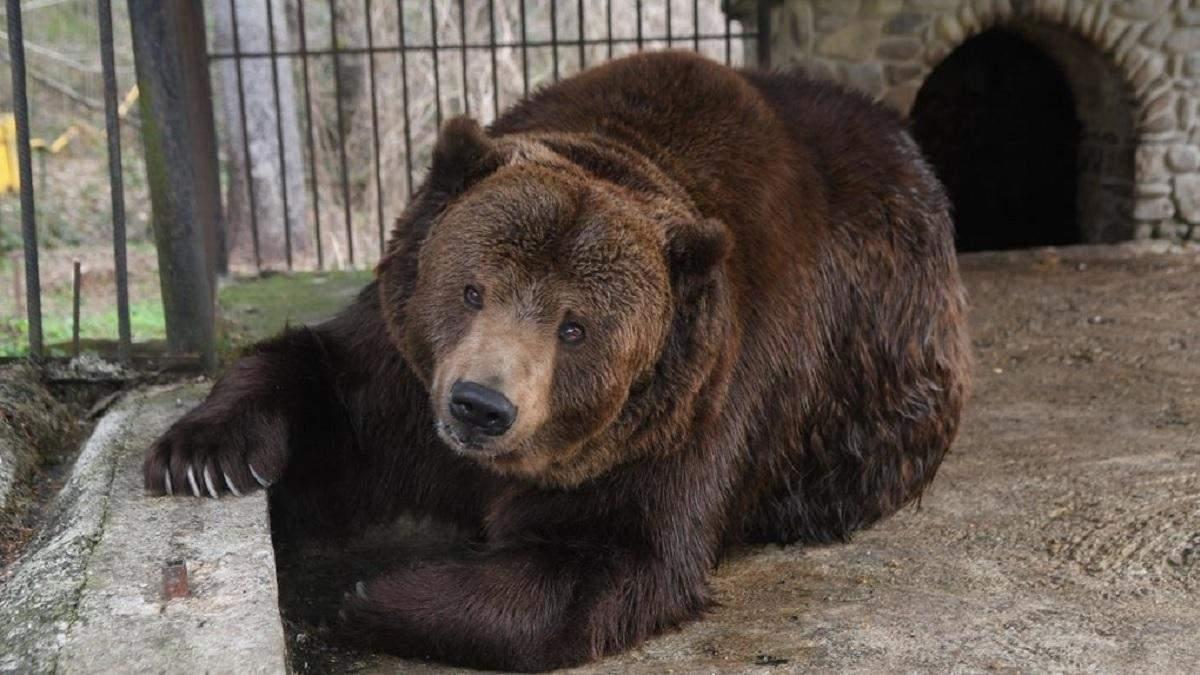 На Закарпатті після операції помер ведмідь Юра