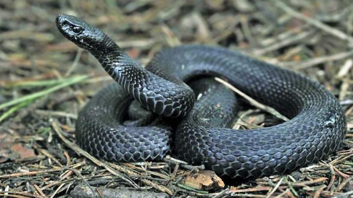 На Львівщині посеред ночі чоловіка вкусила змія: він потрапив у реанімацію