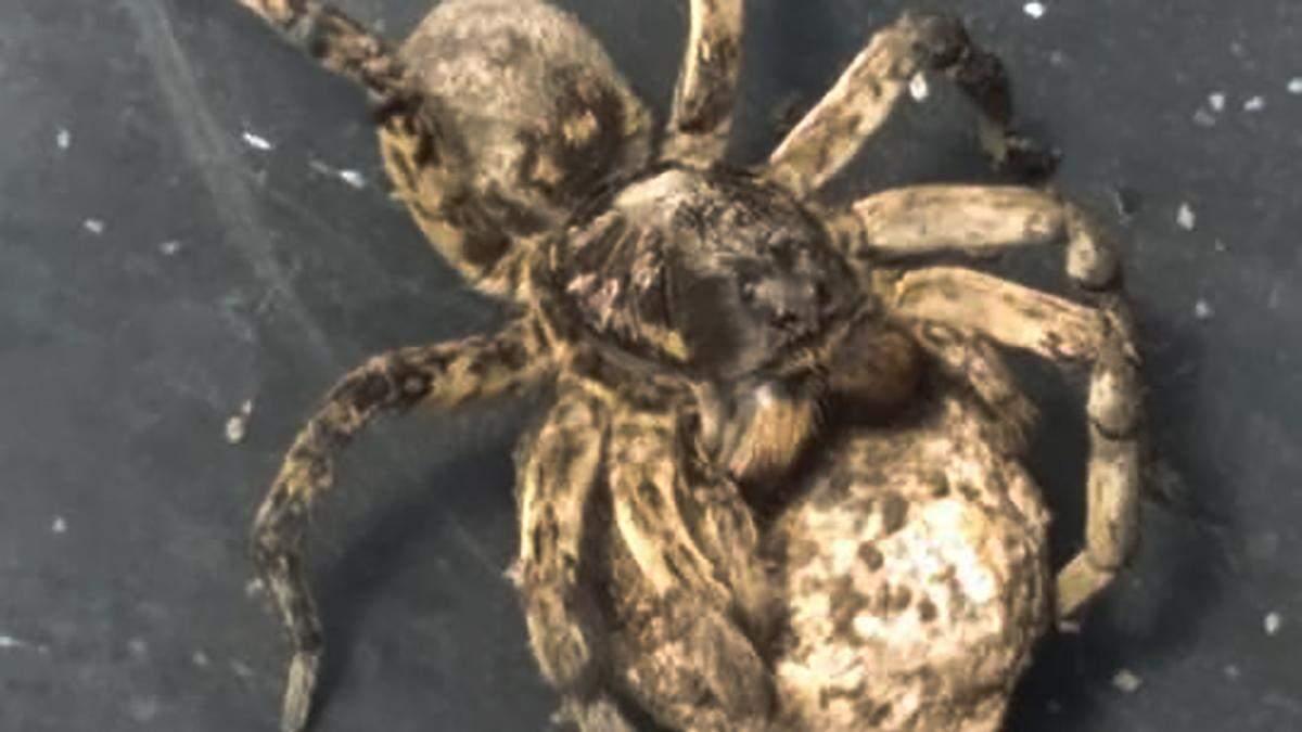 Під Дніпром отруйні пауки нападають на людей