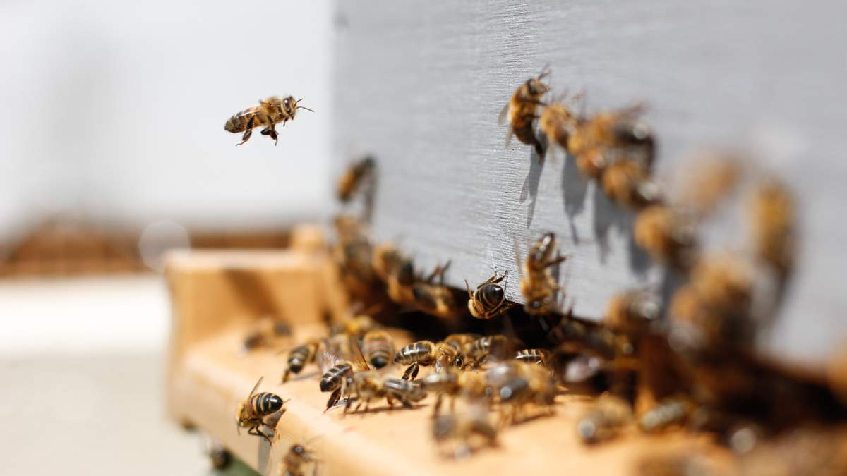 В России власть просит жителей остерегаться пьяных пчел