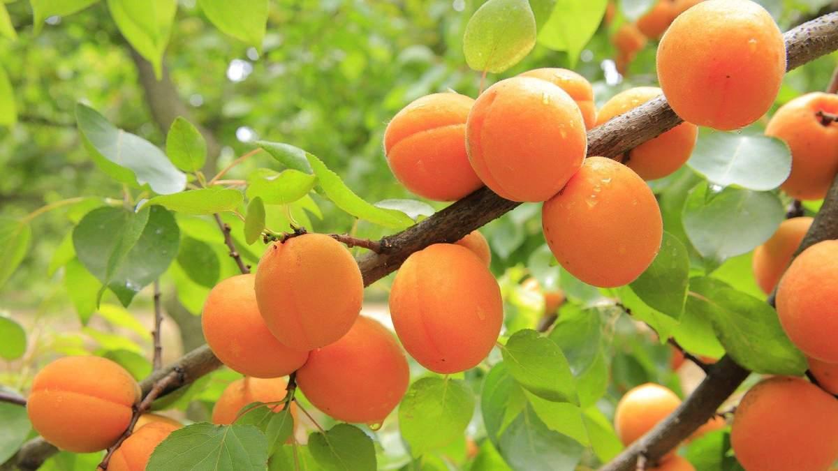 В чем польза абрикосов и кому их следует есть: полезные и интересные факты
