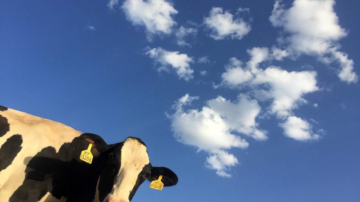 Стадо корів допомогло затримати водія-втікача у Новоград-Волинському