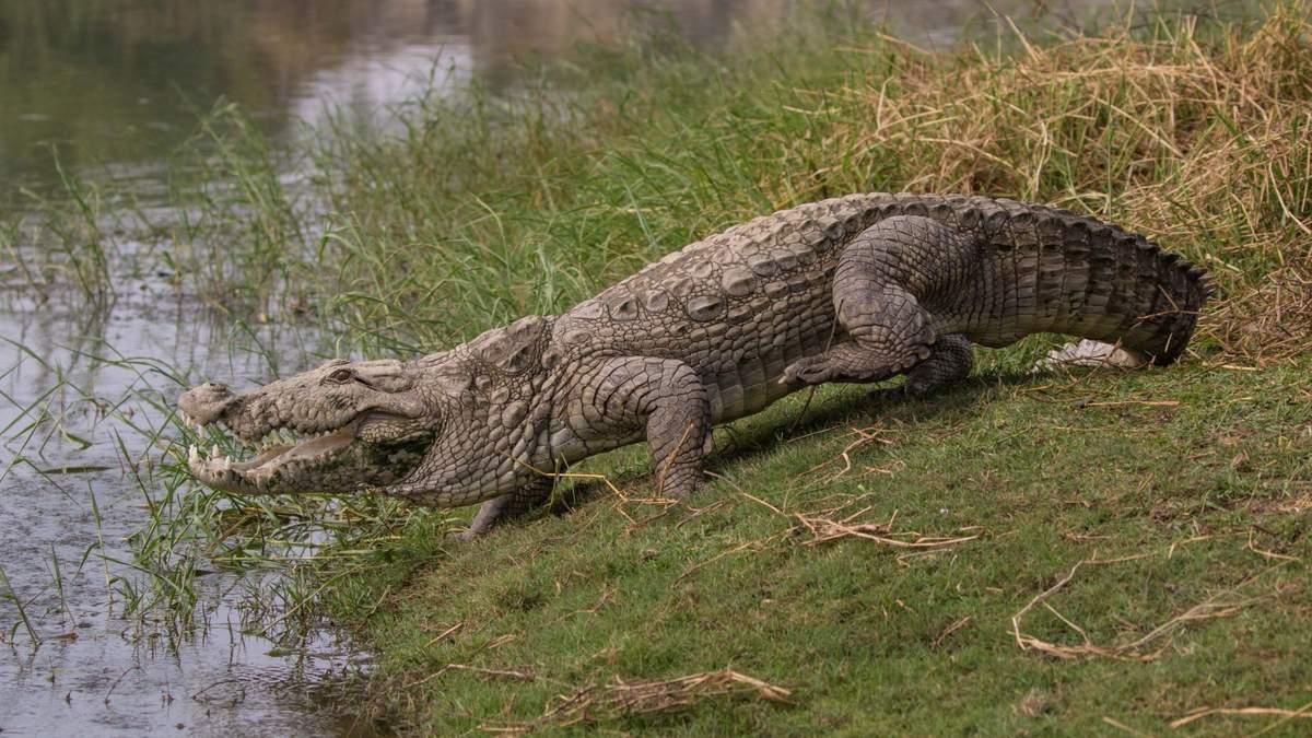 В Индии мужчина 15 минут боролся с гигантским крокодилом