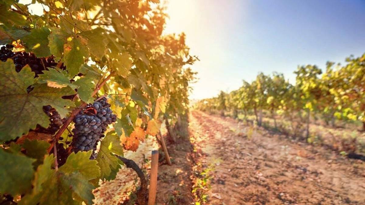 Виноделие в Украине: безалкогольное и крафтовое вино