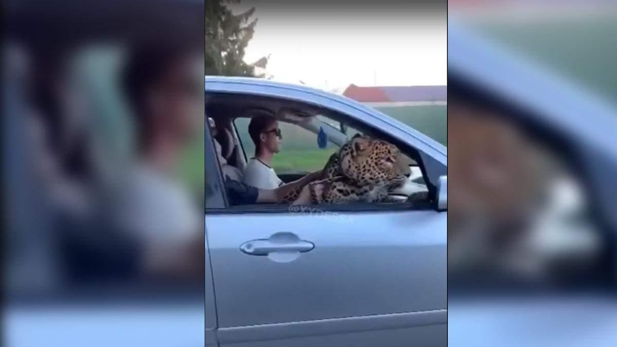 В Одессе леопарда возили по городу в автомобиле: видео