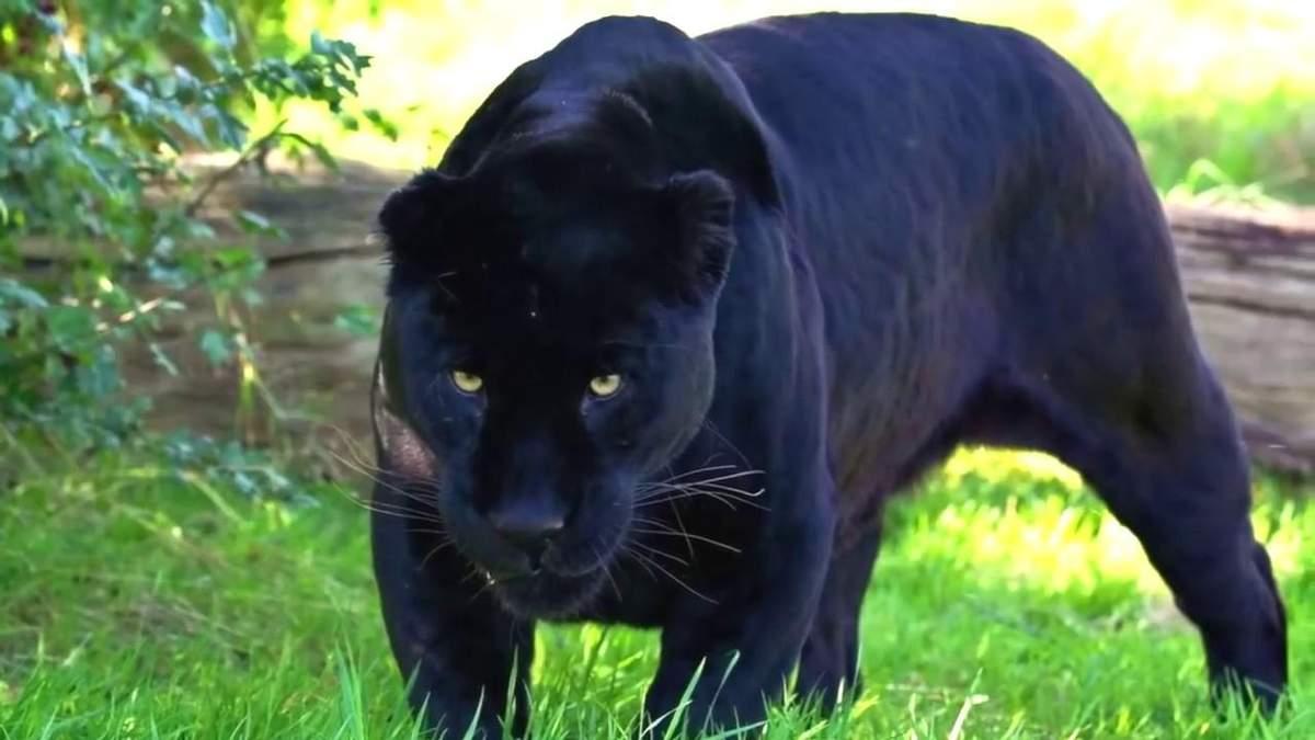 В экопарка под Полтавой на мужчину напала пантера и укусила за голову