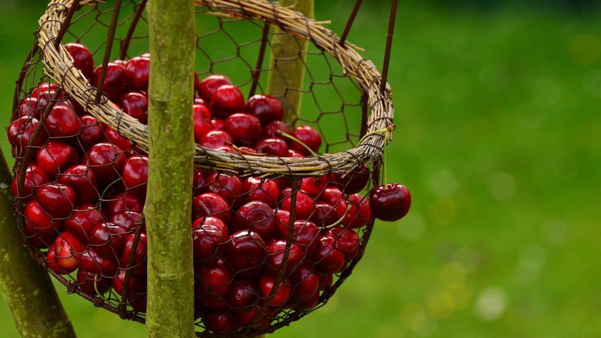 Вишня чи черешня: яку ягоду обрати влітку - користь і особливості