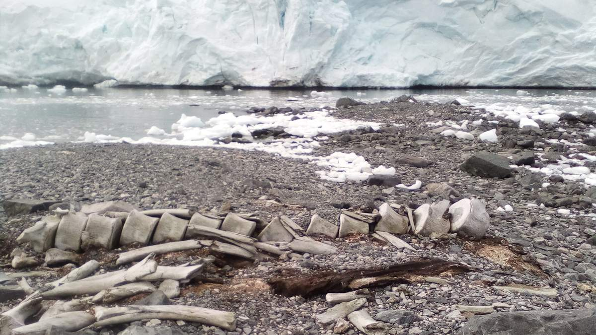 """Вчені розгадали секрети кита, рештки якого роками лежать біля станції """"Вернадський"""" - Україна новини - 24 Канал"""