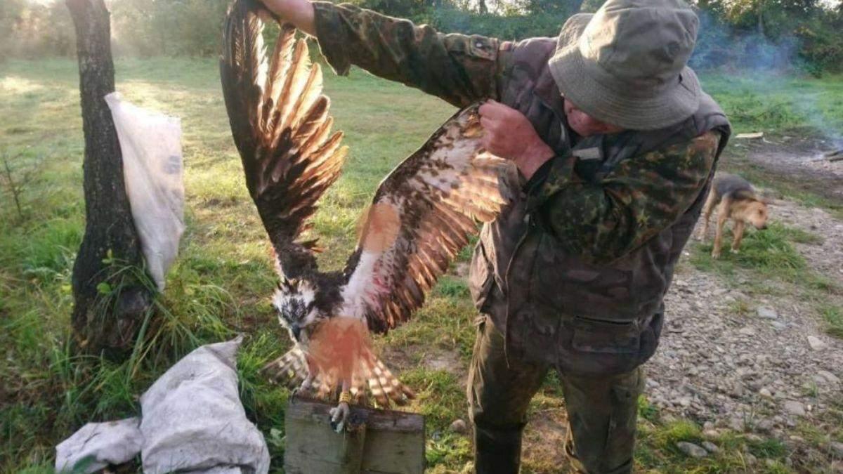 Прилетела из Финляндии: на Прикарпатье браконьеры убили редкую птицу