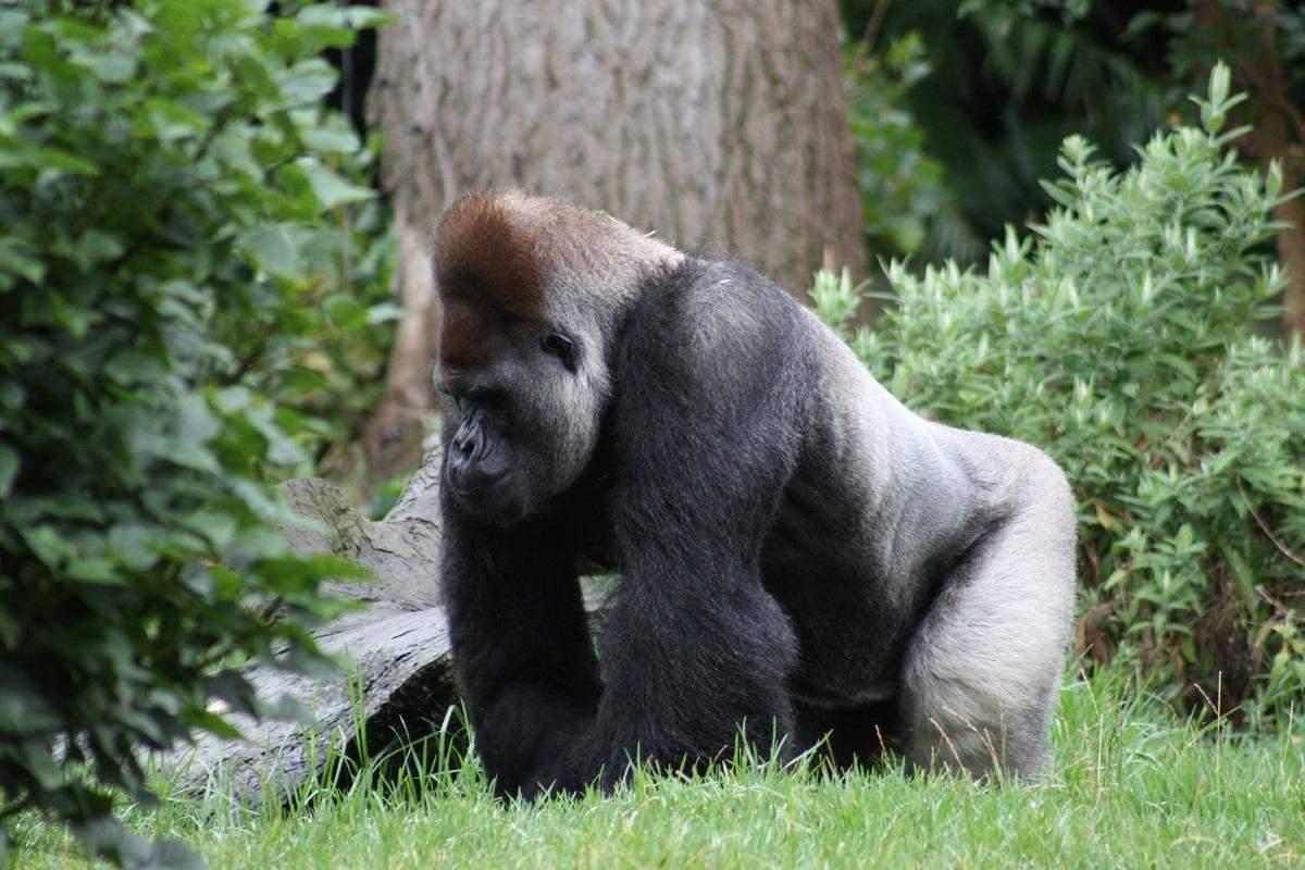 Річкова горила