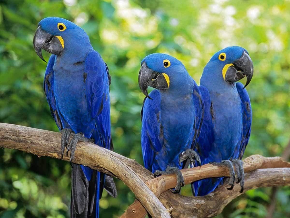 Блакитний ара