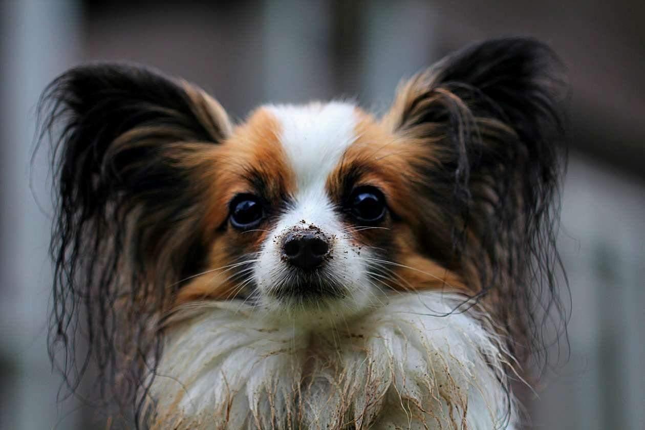 Папільони – дуже красиві собаки