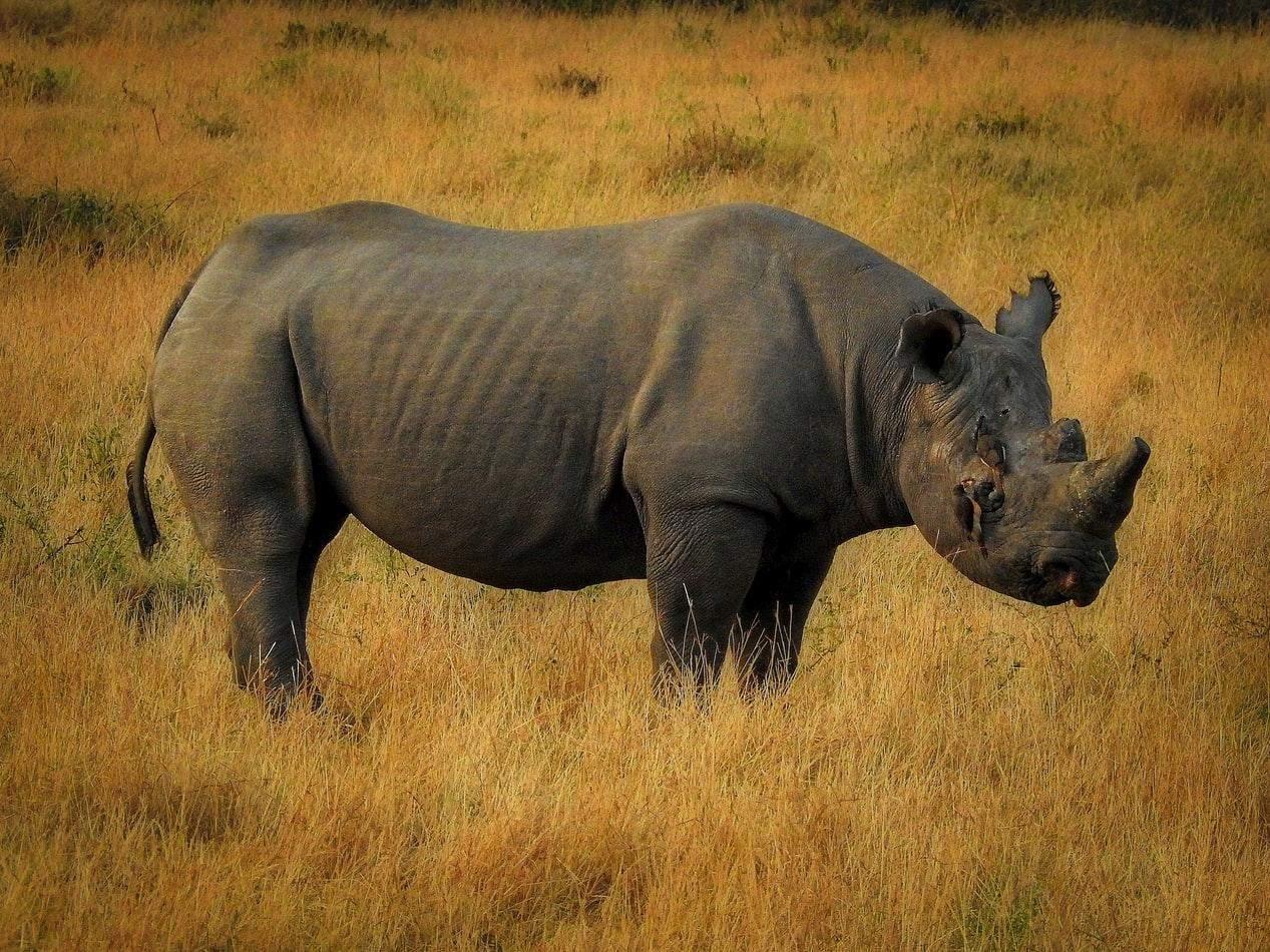 Носороги не мають ворогів у дикій природі