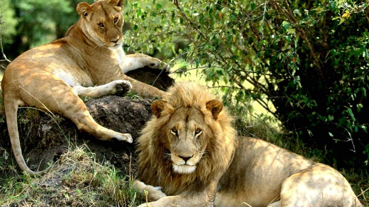 Азійський лев