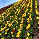 Еще одна цветущая локация: на Хмельнитчине расцвело тюльпаново-нарциссовое поле – фото