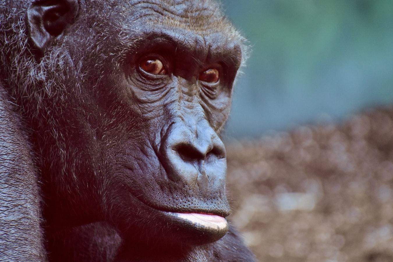 То, что гориллы болеют коронавирусом, изрядно беспокоит ученых