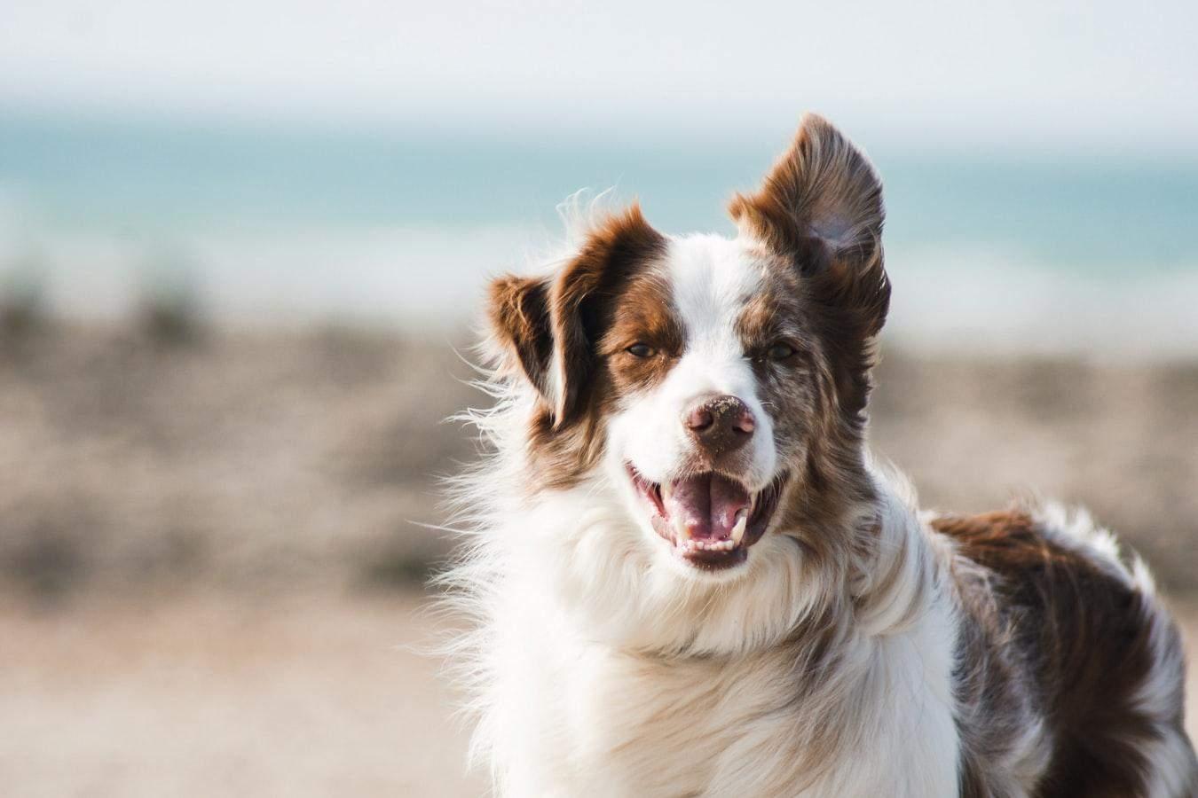 В период линьки нужно вычесывать собаку ежедневно