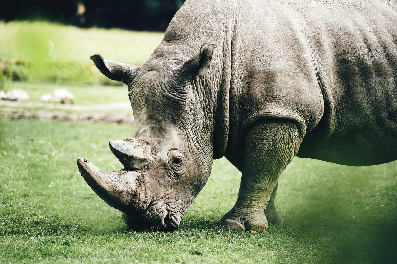 Носорогів масово винищували через віру в чудодійну силу їхнього рогу