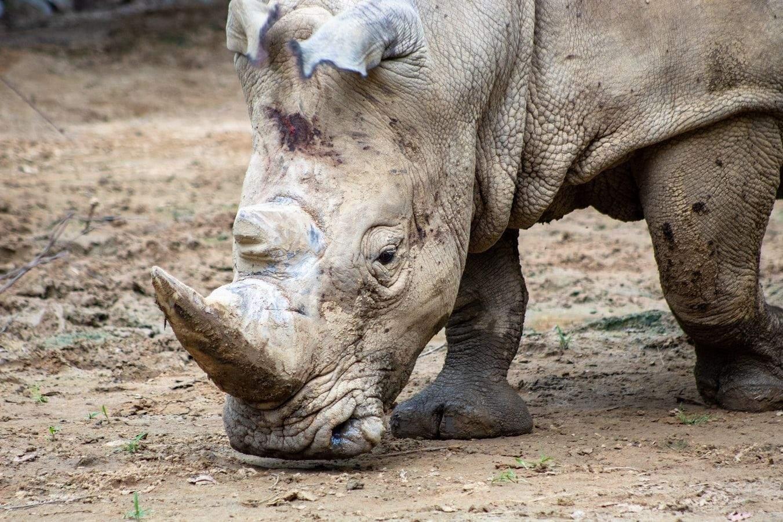 У деяких парках для захисту носорогів використовують військову техніку та зброю