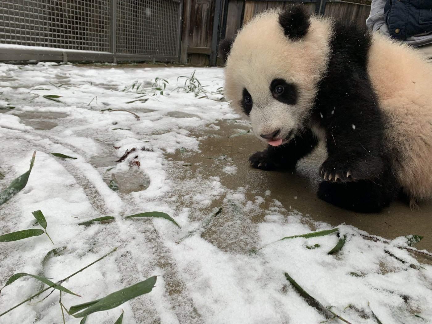 Забавные панды в снегу порадовали пользователей сети