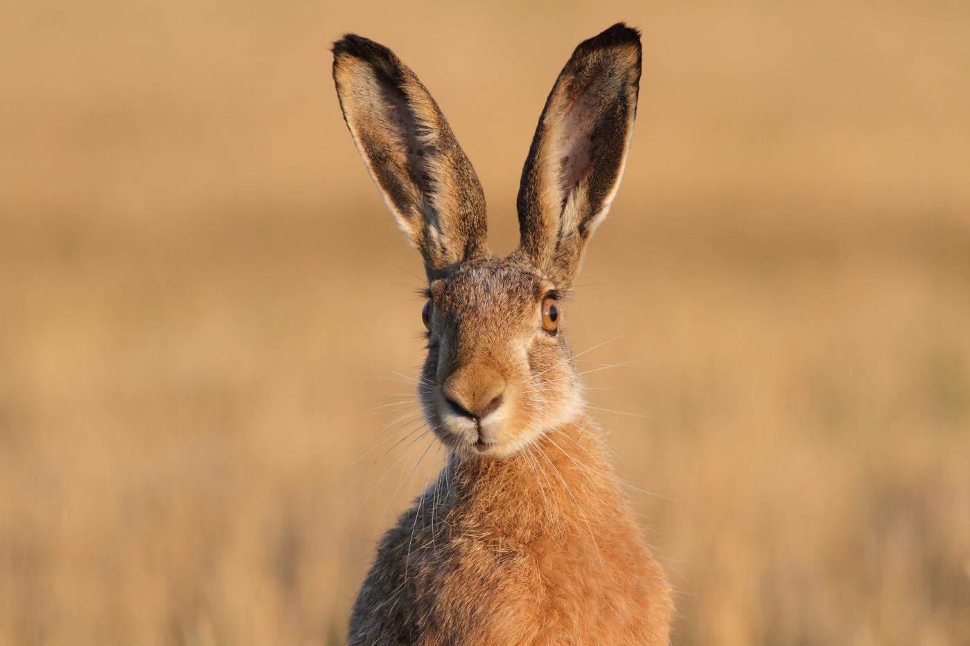 Бушменів заєць