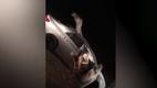 Видео недели: верблюд застрял в салоне машины